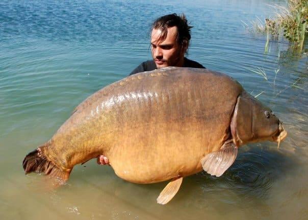 Carpe miroir 35 500 kgs lac public non communiqu for Vente grosse carpe