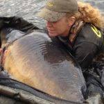 Record mondial féminin à l'étang du Héron : Carpe de 35,8 kilos 4