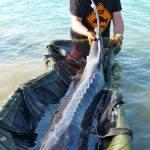 Esturgeon transmontanus de 2,14 m pour 69 kg