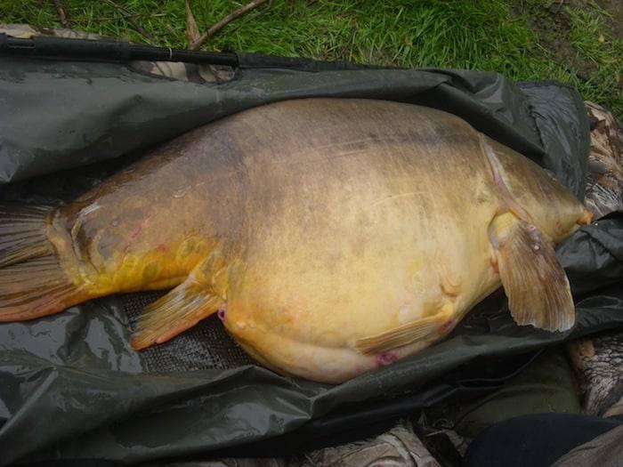 Carpe miroir 33,4 kilos – Etang Iktus Carpe – Lac privé - Georges Meunier 4
